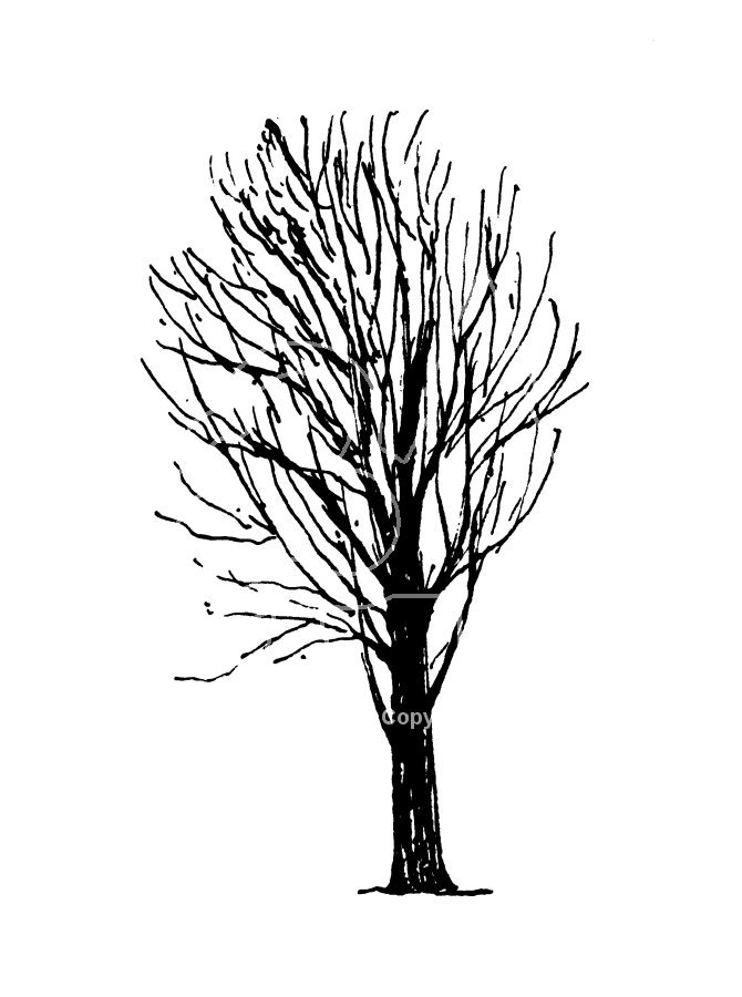 670x900 Black And White Maple Tree Drawing Stage Hep