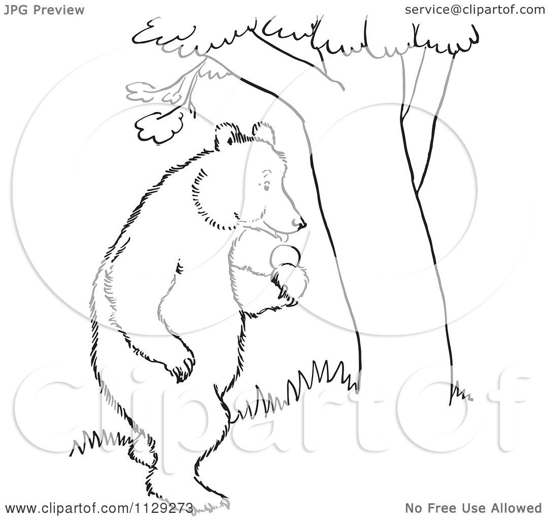 1080x1024 Cartoon Clipart Of An Outlined Standing Bear With Apples By A Tree