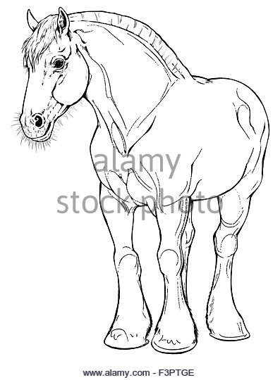 397x540 Draft Horse Standing Stock Photos Amp Draft Horse Standing Stock