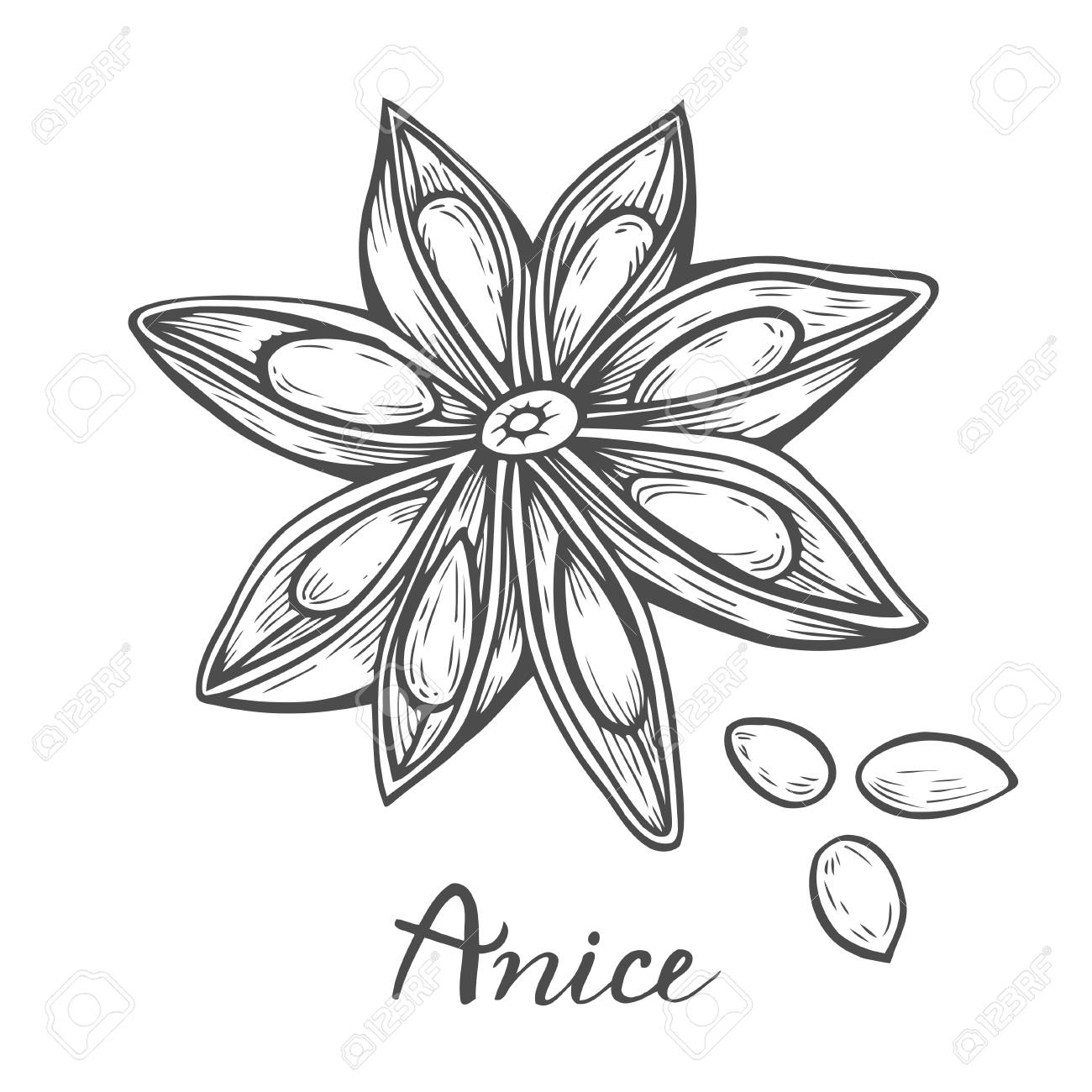 1300x1300 Hand Drawn Anise Star Flower Seed Plant Sketch Illustration