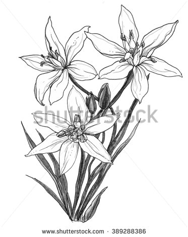 373x470 White Star Of Bethlehem Flower In Blossom In Bouquet Isolated