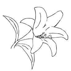 Stargazer Lilies Drawing