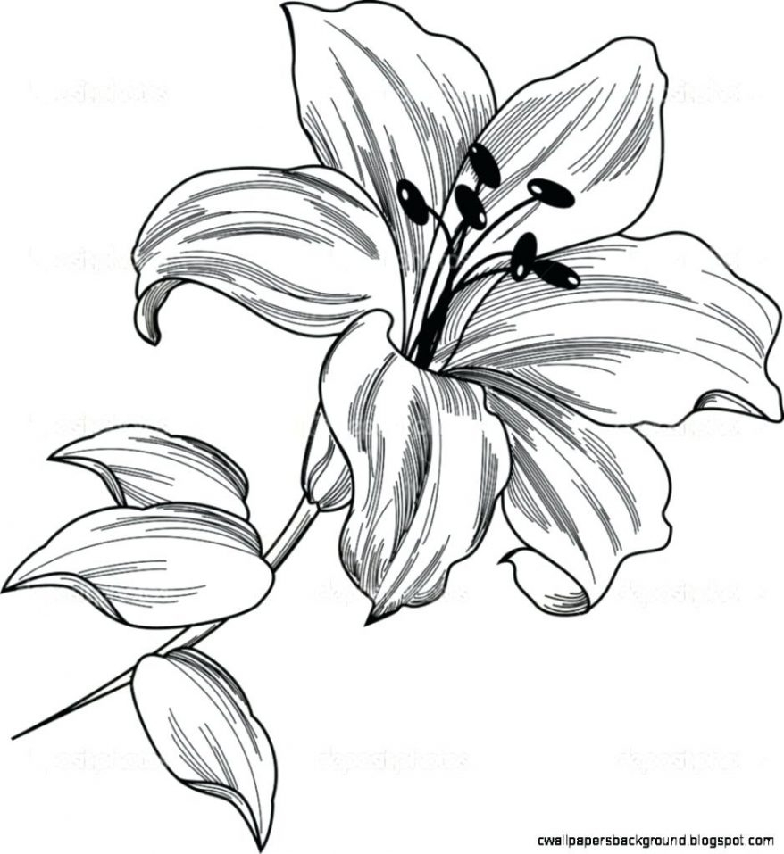 878x957 Lily Flower Drawing Outline Flower Drawing Lily Pencil Stock