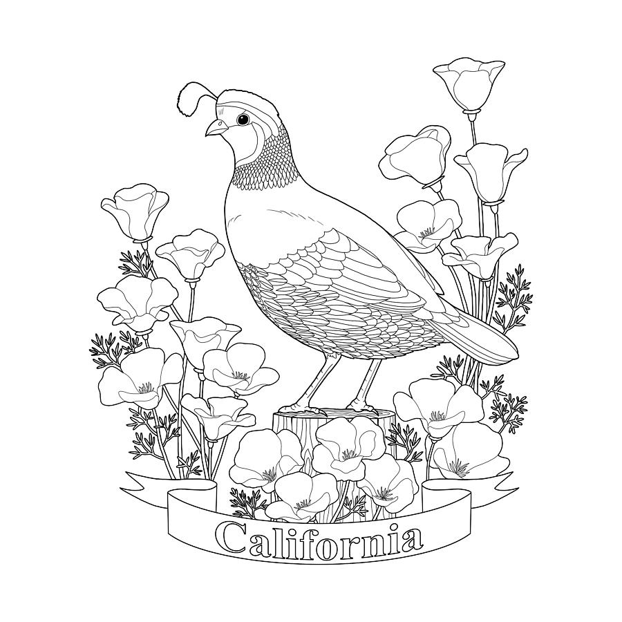 900x900 State Bird And Flower Coloring Page Digital Art By Crista Forest