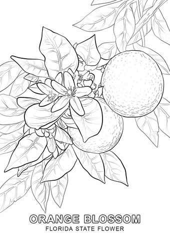 340x480 Florida State Flower Coloring Page Free Printable Coloring Pages