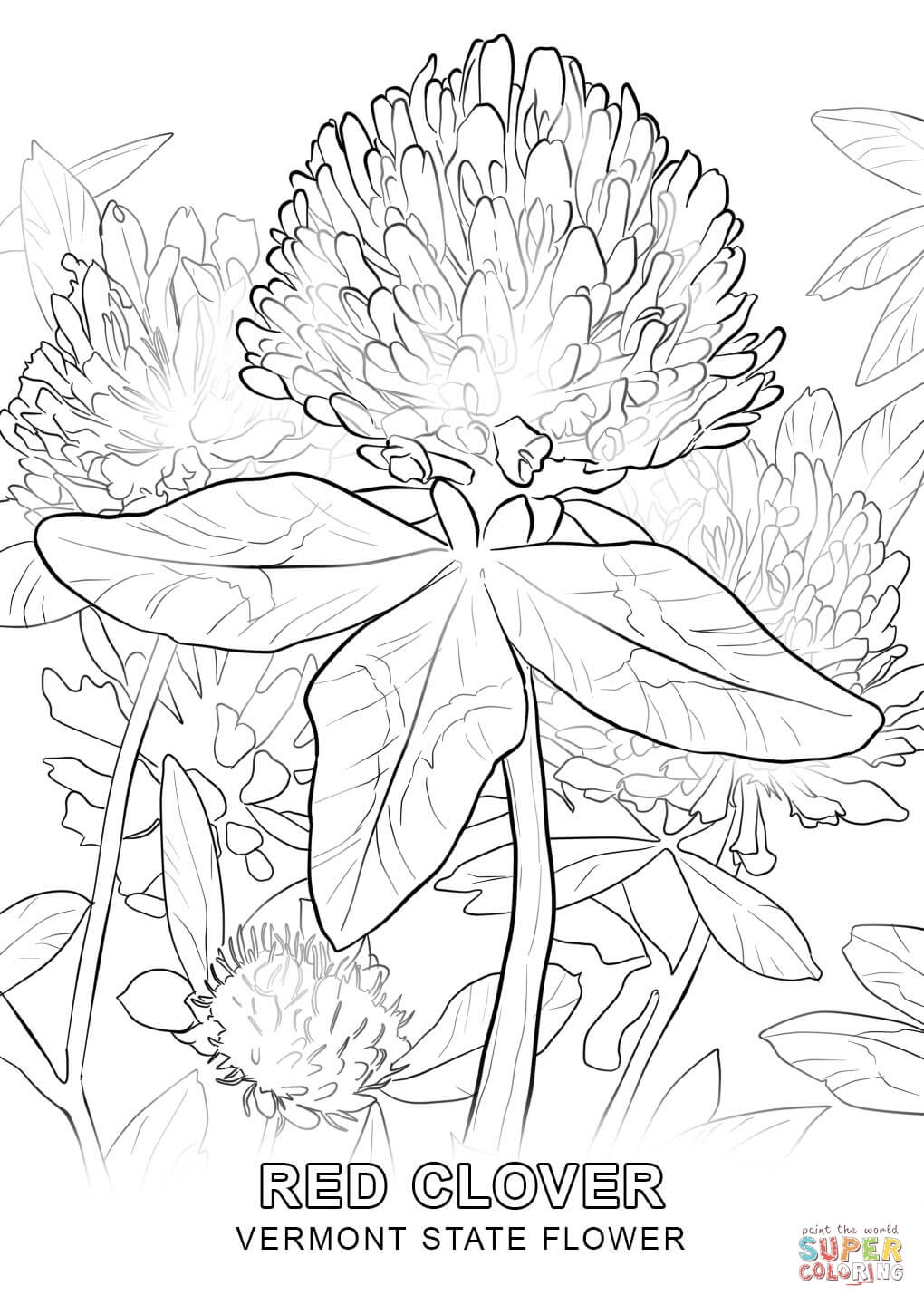 1020x1440 Vermont State Flower Coloring Page Free Printable Coloring Pages