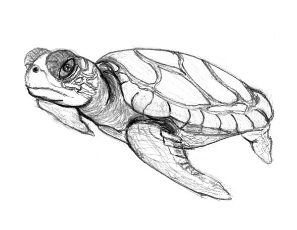 600x464 Sea Turtle In Pencil Sketch Free Coloring Page