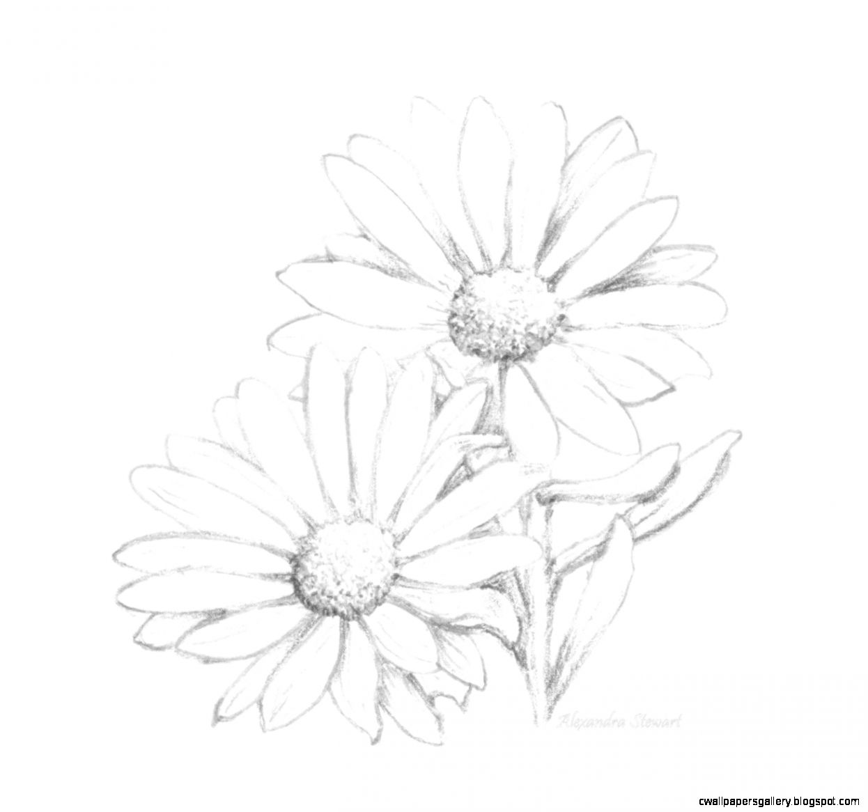 1246x1166 Daisy Flower Pencil Drawing Wallpapers Gallery