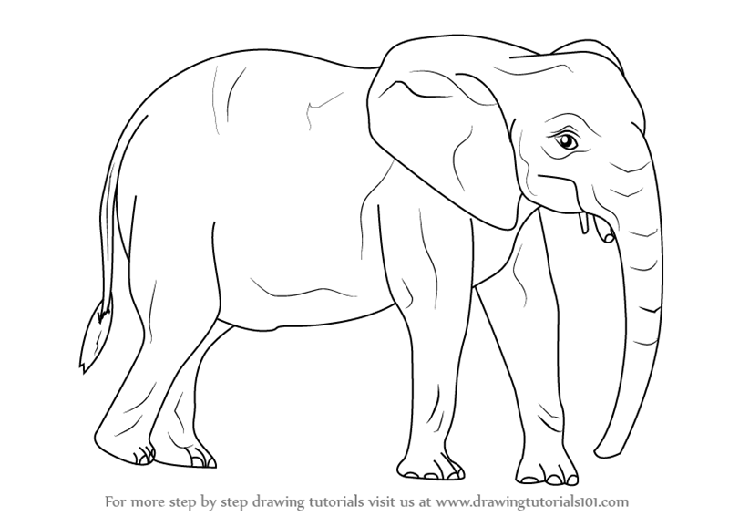 800x566 Learn How To Draw An African Elephant (Wild Animals) Step By Step