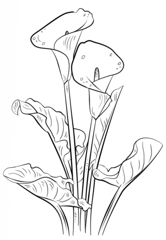 333x480 Calla Lily Coloring Page From Lilies Category. Select From 20946