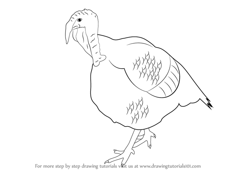 800x564 Learn How To Draw A Turkey (Farm Animals) Step By Step Drawing