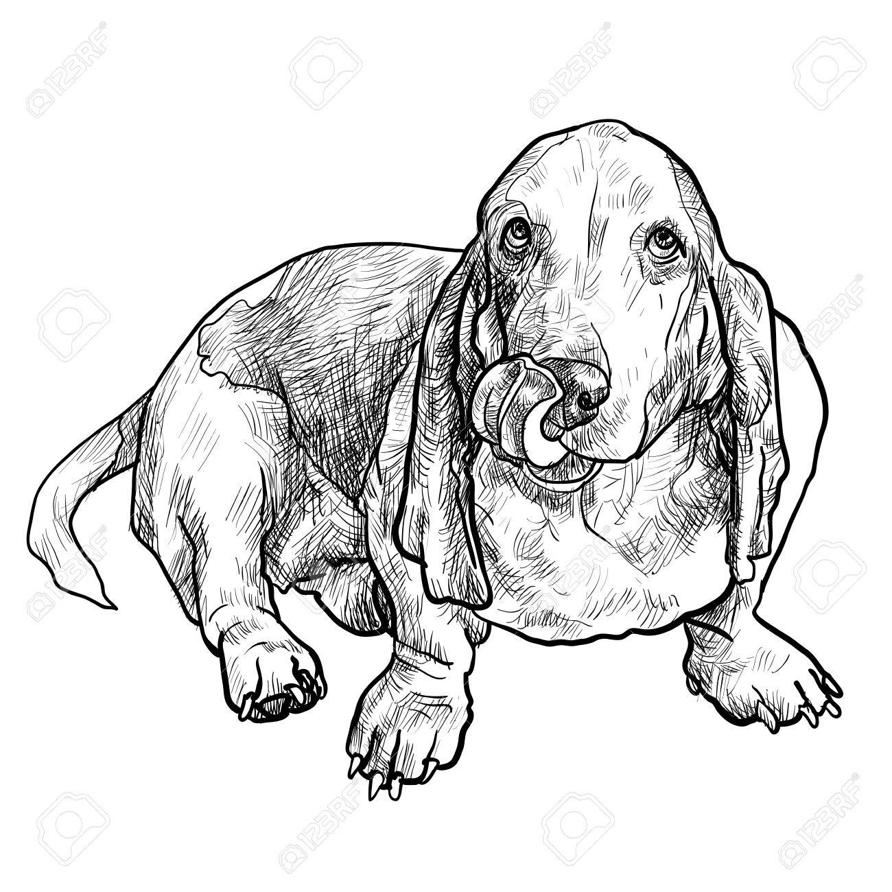 1300x1300 Adorable Basset Hound Dog Sitting And Stick Out It's Tongue