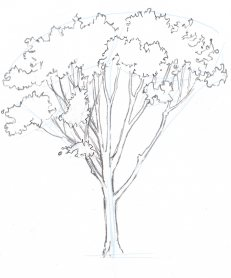 231x278 How To Draw Trees Oaks Learn To Draw Drawings