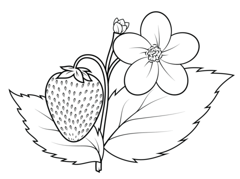 480x358 Strawberry Plant Coloring Page Free Printable Coloring Pages
