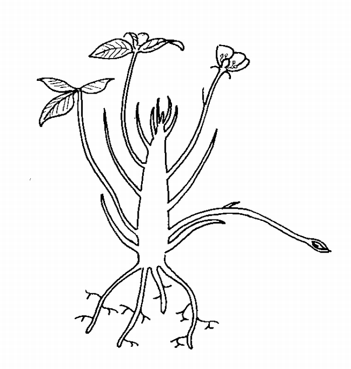 696x730 Strawberry Plant In Spring Biological Drawings Of Vegetative