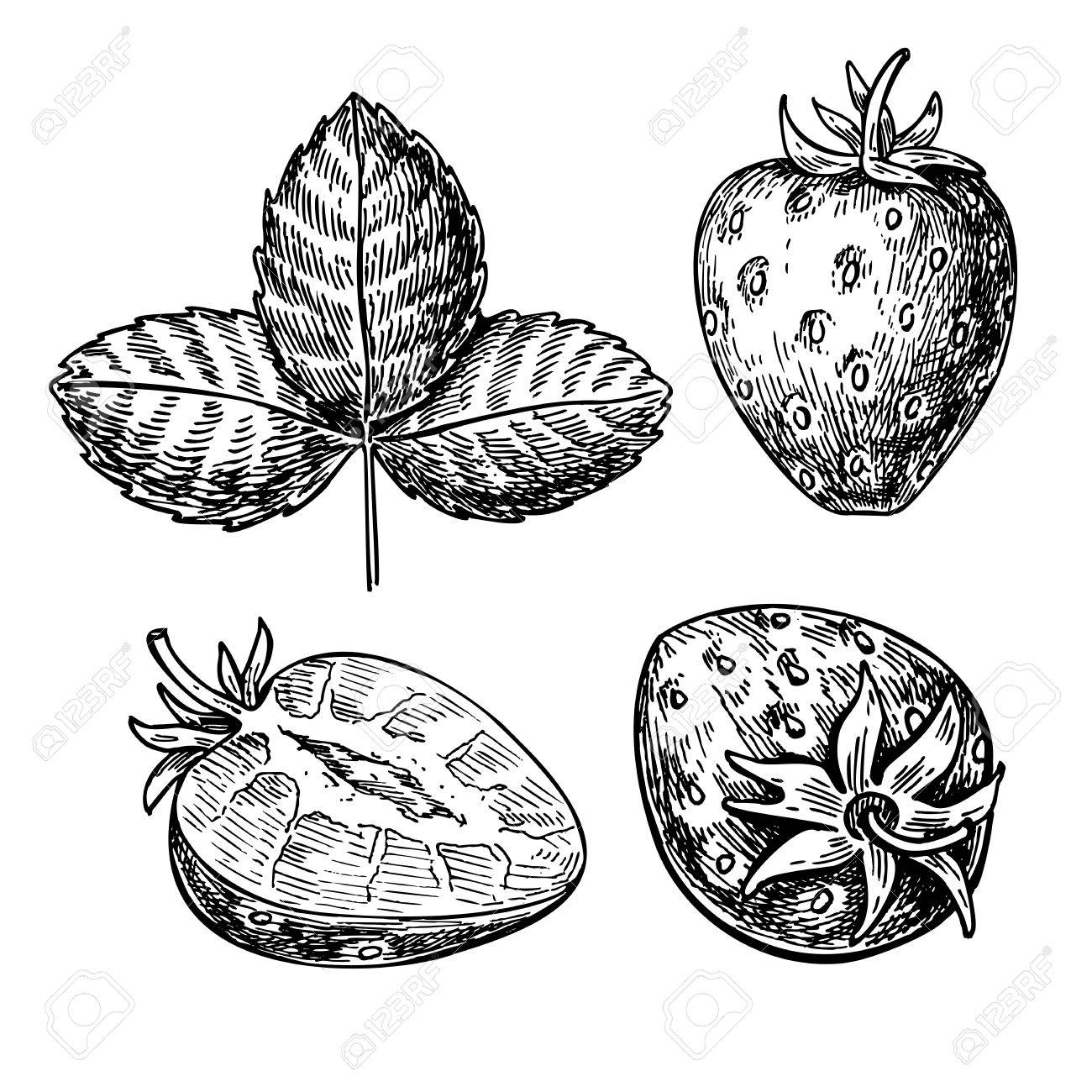 1300x1300 Strawberry Vector Drawing Set. Isolated Hand Drawn Berry, Slice
