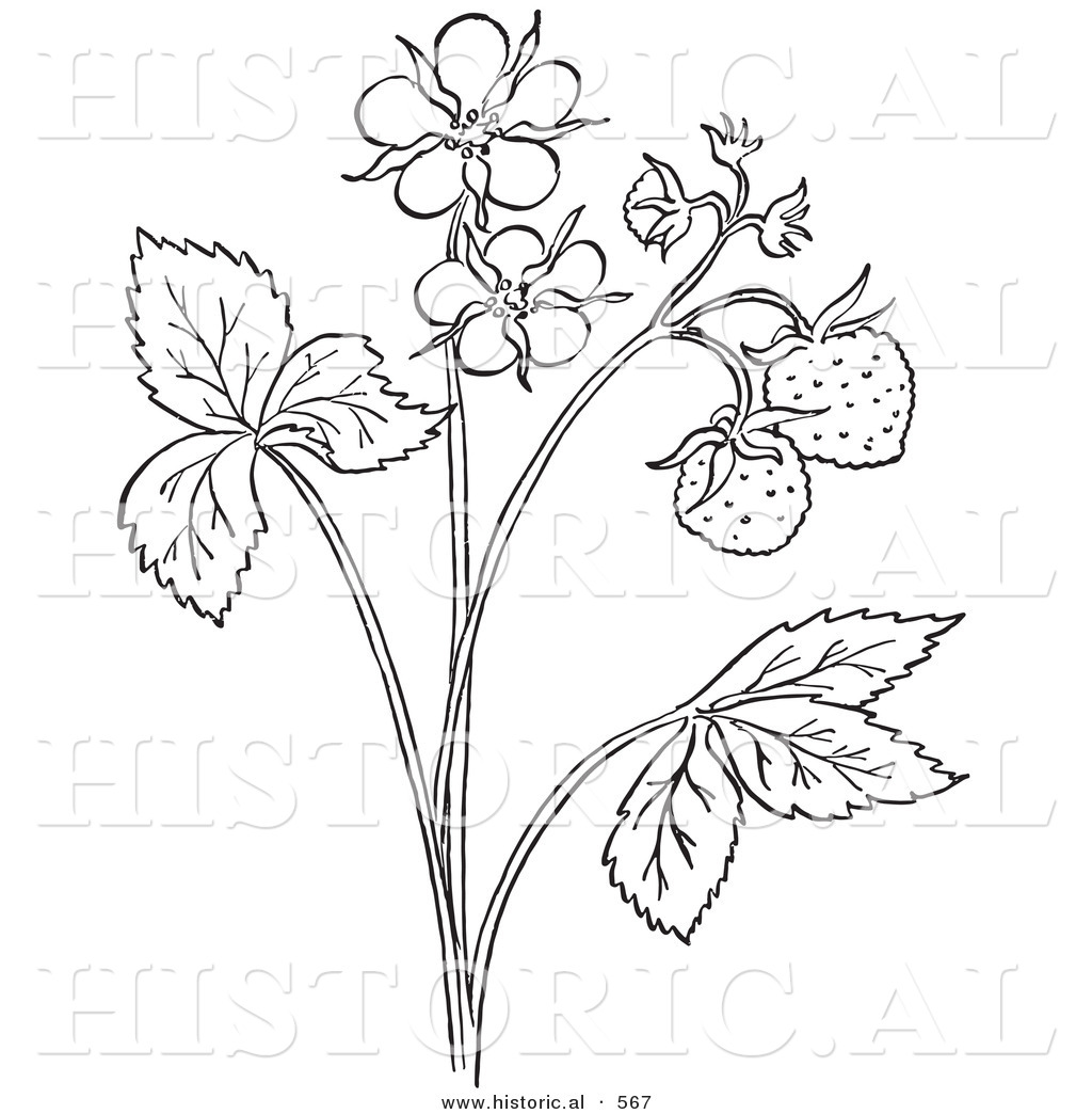 1024x1044 Historical Vector Illustration Of A Strawberry Plant With Flower