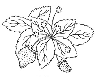 319x253 Drawn Strawberry Strawberry Bush