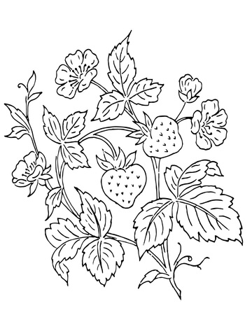 Strawberry Plant Drawing at GetDrawings.com | Free for personal use ...