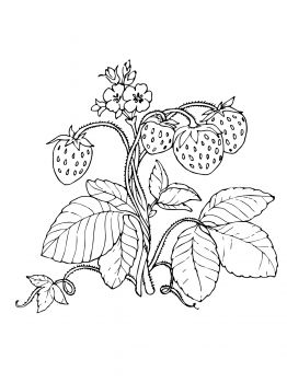 Strawberry Plant Drawing