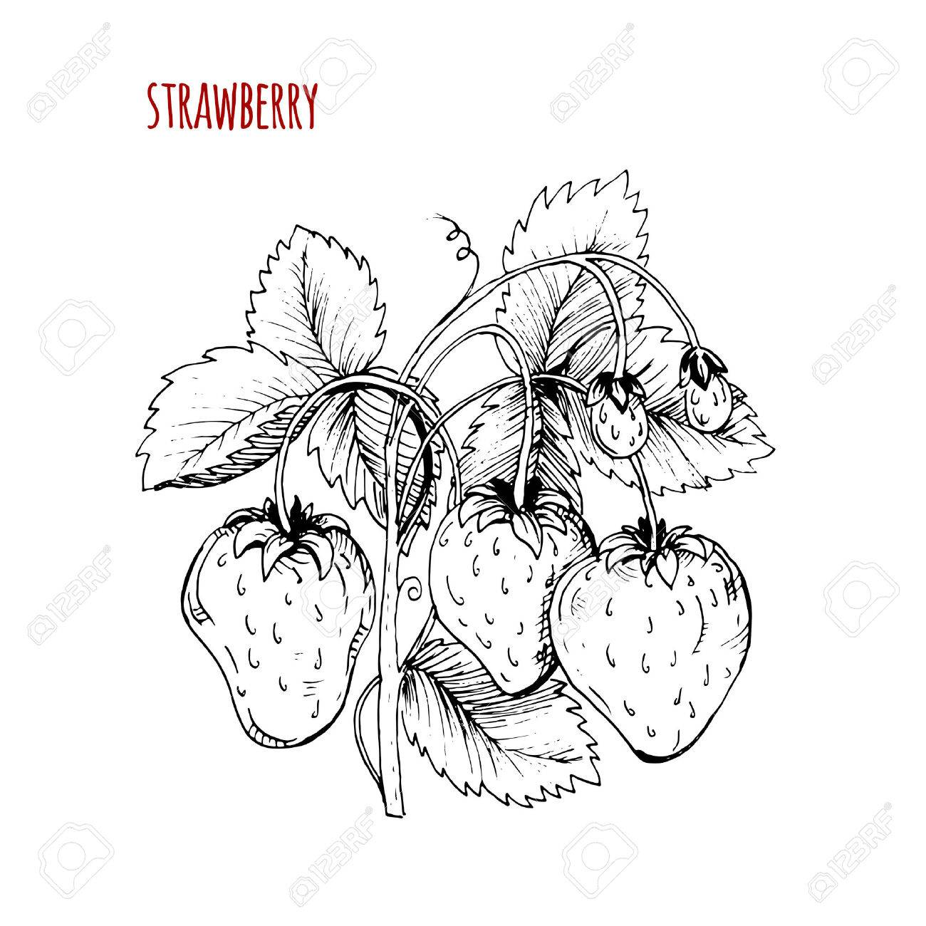 1300x1300 Strawberry Drawing. A Strawberry Bush On A White Background