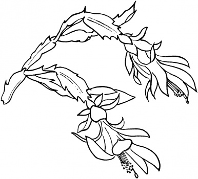 386x350 Drawing A Succulent Schlumbergera Bloom Coloring Pages