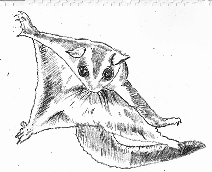 Sugar Glider Drawing