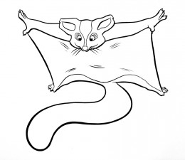 260x225 Information About Sugar Gliders A Fun And Unusual Pet Gliders
