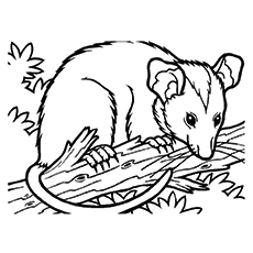 230x230 Possum Animal Coloring Pages Sugar Glider How To Draw A Sugar