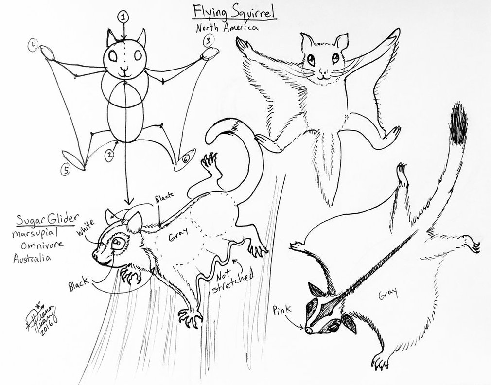 1010x792 Draw Flying Squirrel And Sugar Glider By Diana Huang