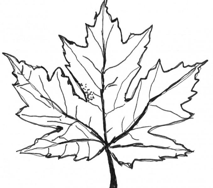 678x600 Leaves Color Pages Sugar Maple Leaf Sketch Coloring