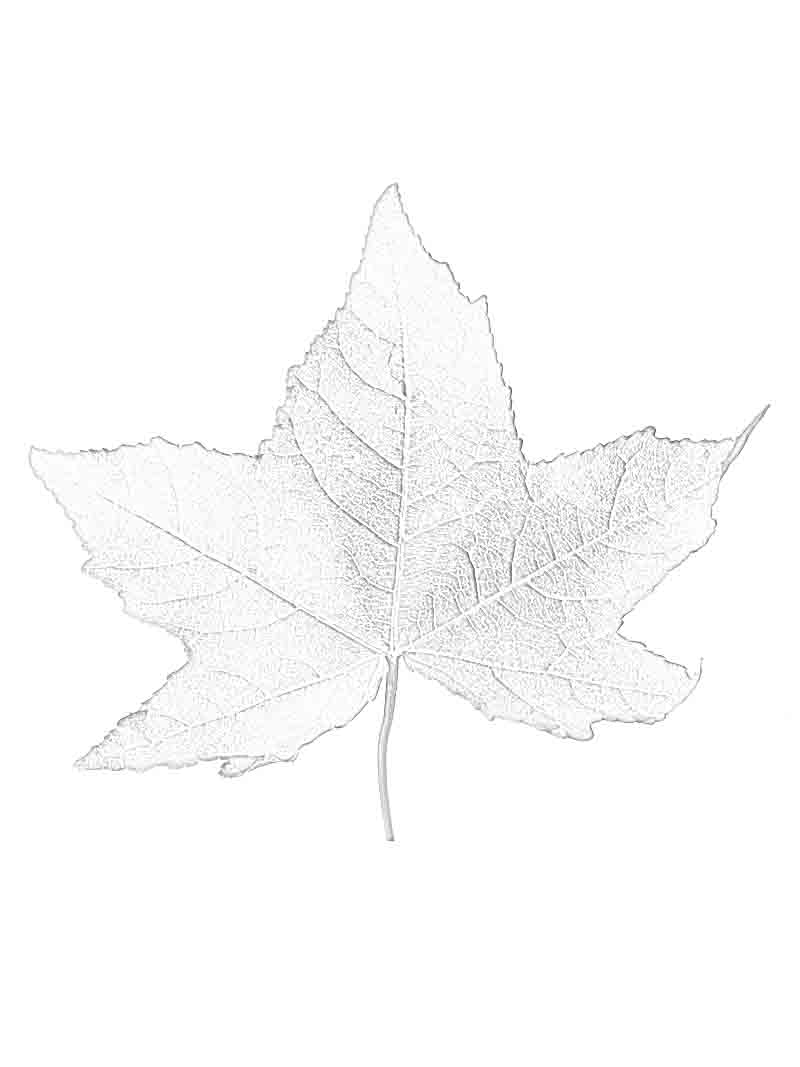 800x1067 Leaf, Sugar Maple In Autumn Colors