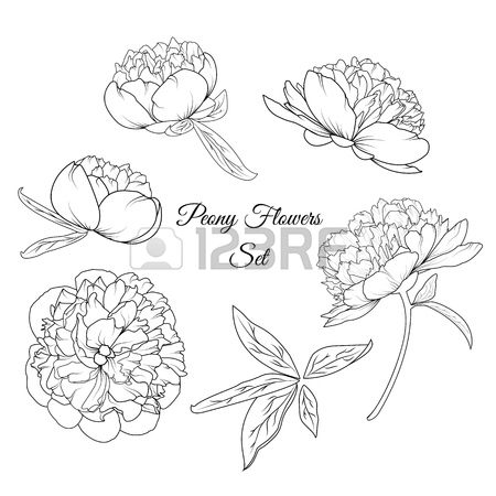 450x450 Peony Spring Summer Flowers Shrub Bloom Blossom Black And White