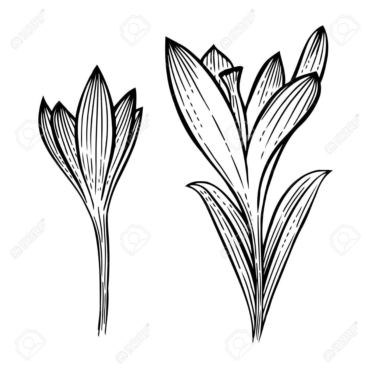 1300x1300 Set Of Summer Flowers Crocus, Sketch Vector Illustration Isolated