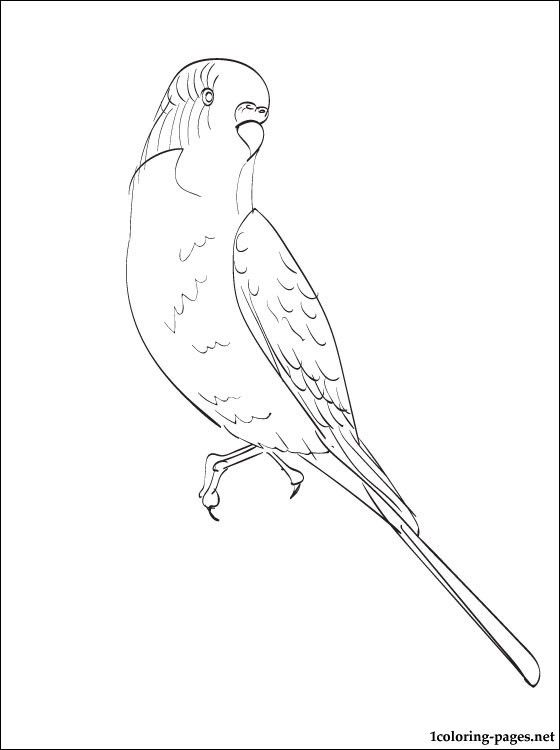560x750 Budgie Coloring Page Coloring Pages Birds Bird