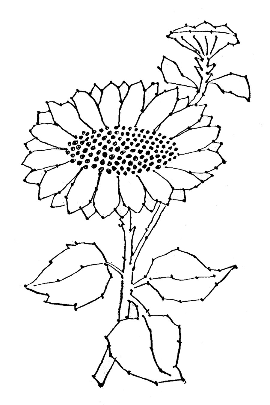 Sunflower Black And White Drawing At Getdrawings Free For