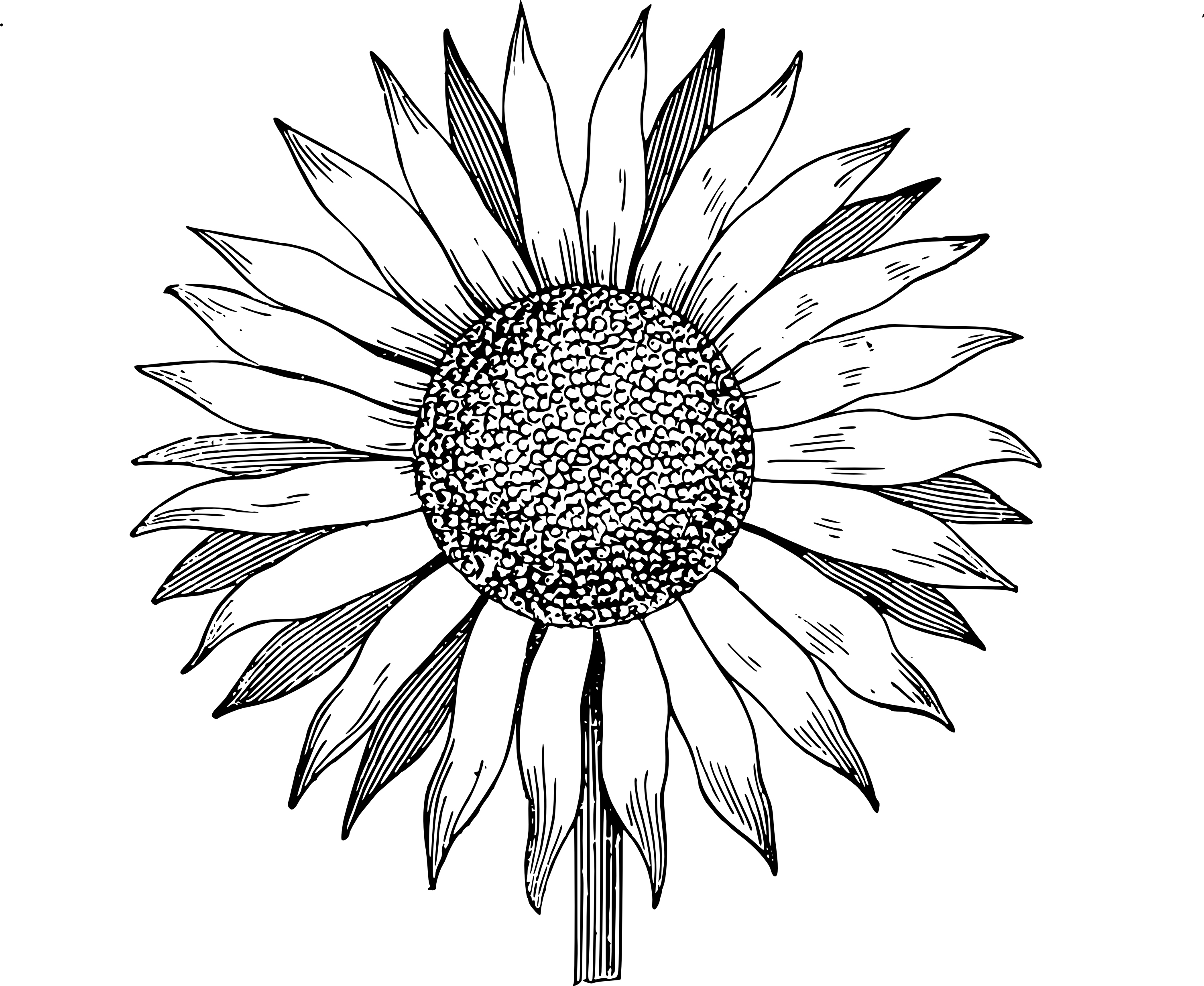 3000x2457 Outline Drawing Of A Sunflower Sunflower Png Clipart Picture