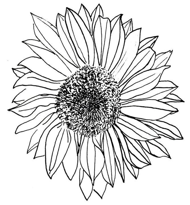 667x722 Sunflower Drawing Lifestyle Sunflower Drawing