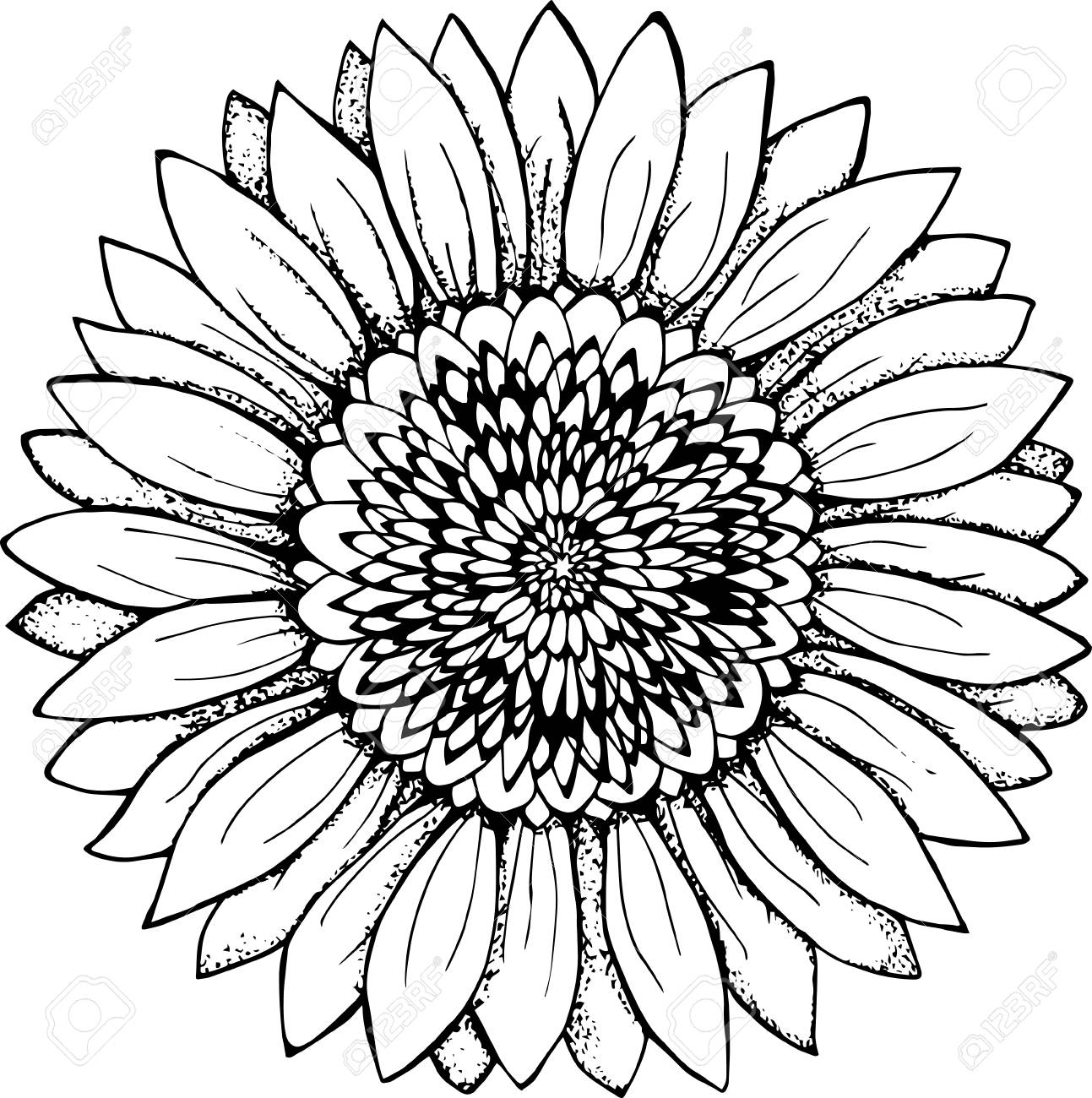 1293x1300 Black And White Picture Of A Sunflower. Flower Illustration