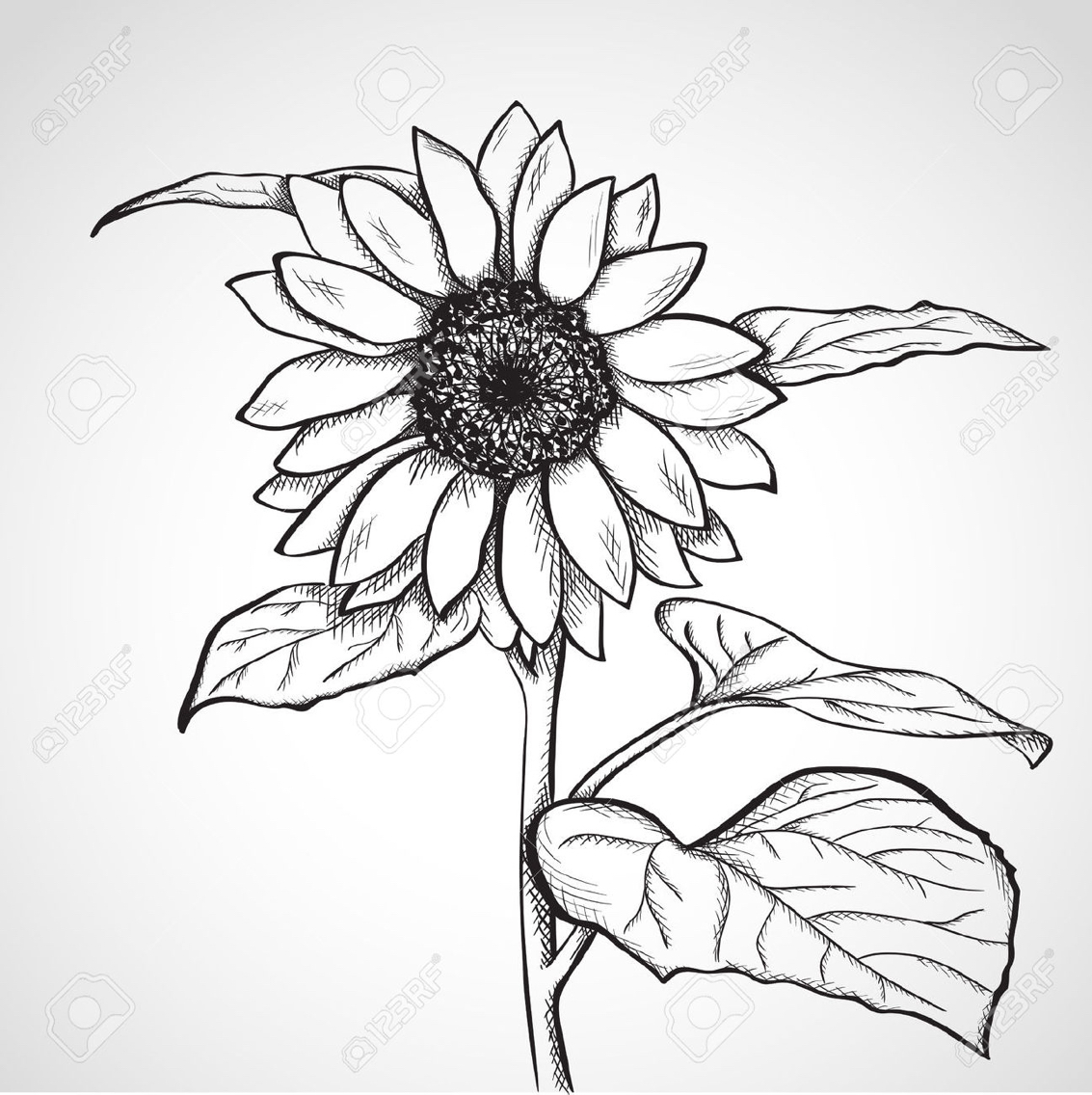 1133x1136 Sunflower Sketch Black And White