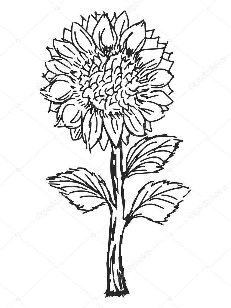 768x1024 Sunflower Stock Vector Perysty