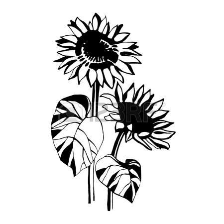 450x450 Sunflower Drawing Stock Photos. Royalty Free Business Images