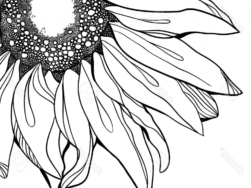 1024x767 Sunflower Line Drawing Sunflower Drawing Stock Photos Images