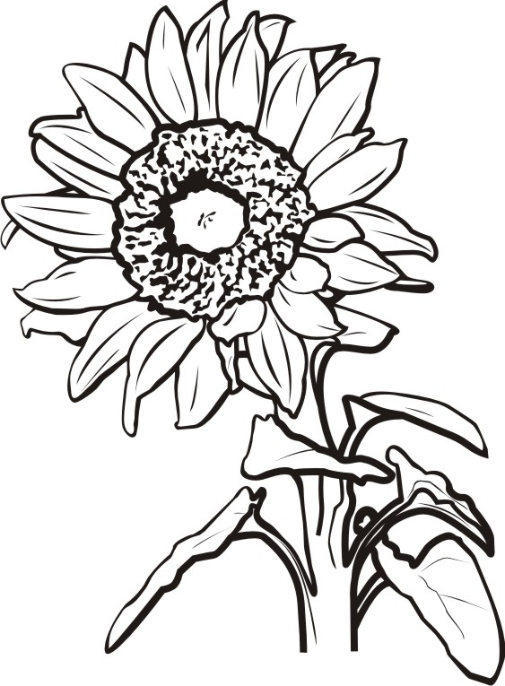 563x765 Sunflower Black And White Sunflower Clipart Black And White Free