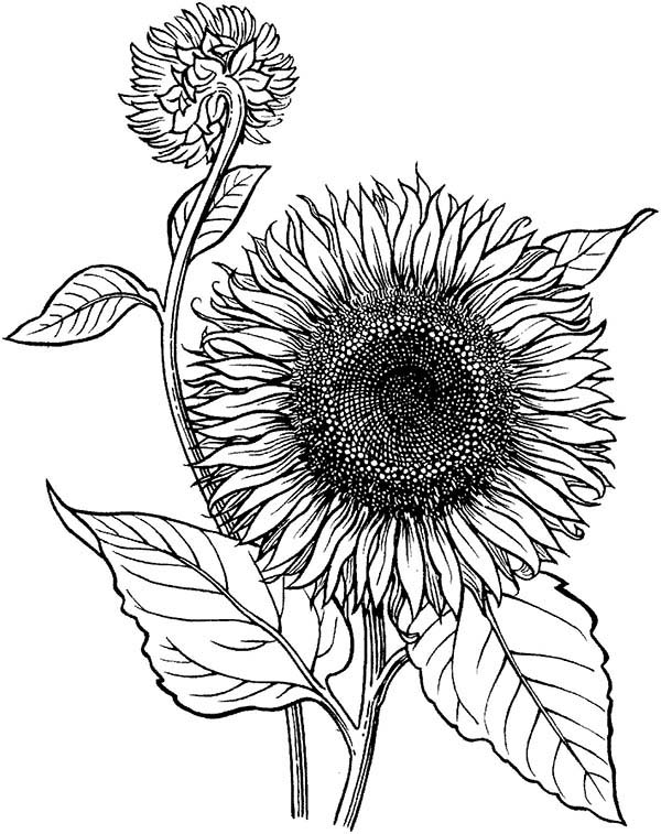 600x757 Sunflower Is Blooming Coloring Page