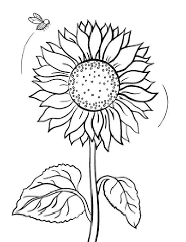 600x777 Sunflowers Drawing