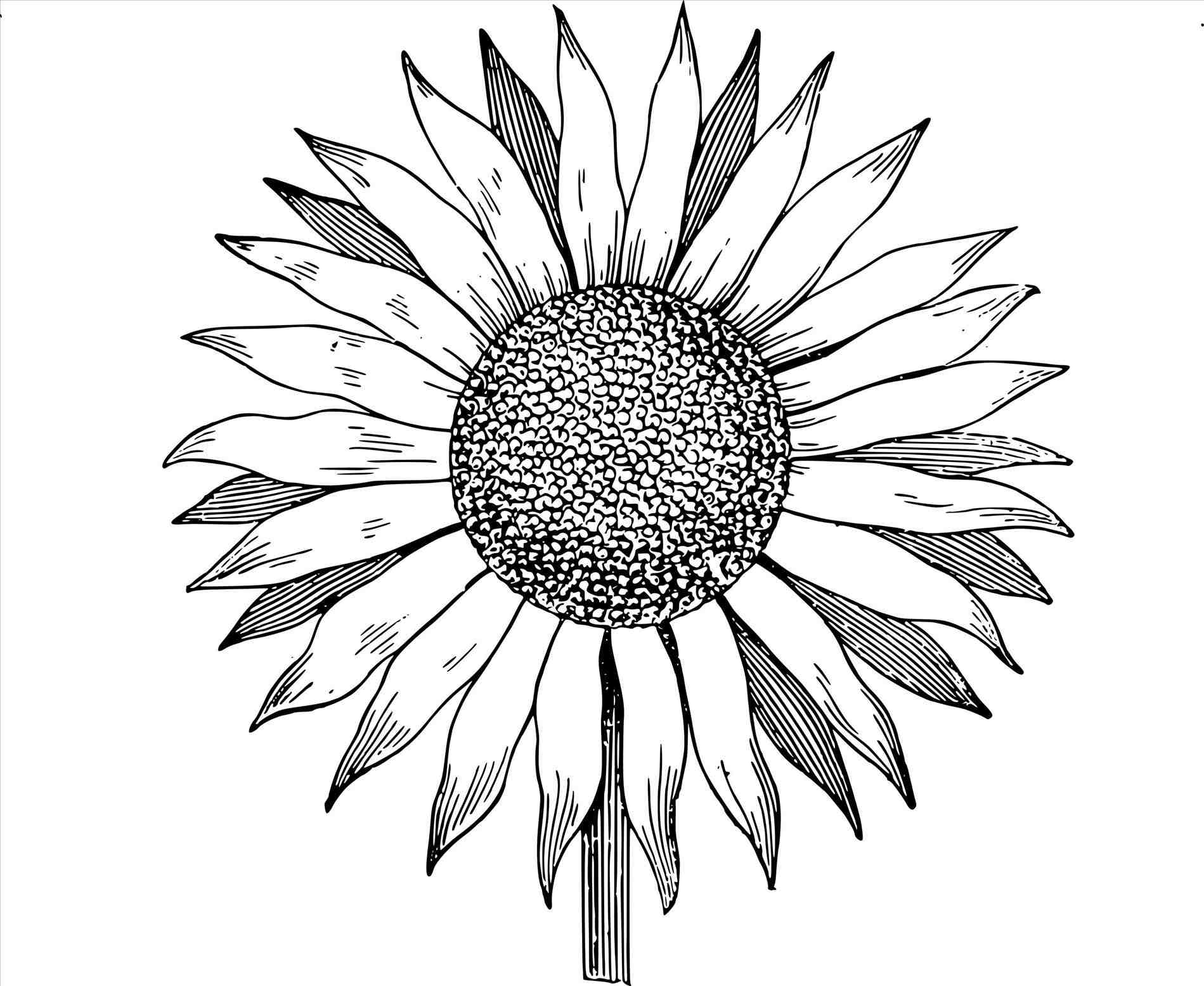 1899x1556 Sunflower Drawing Outline