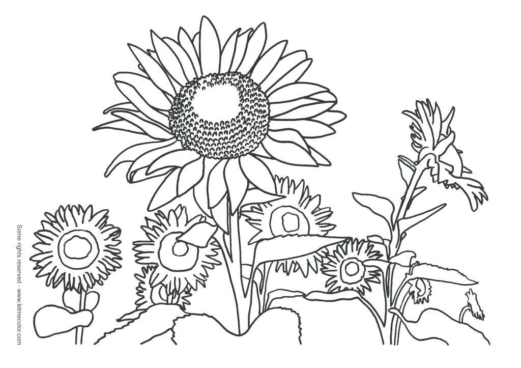 1024x723 Sunflower Coloring Pages Printable Realistic Sunflowers Coloring