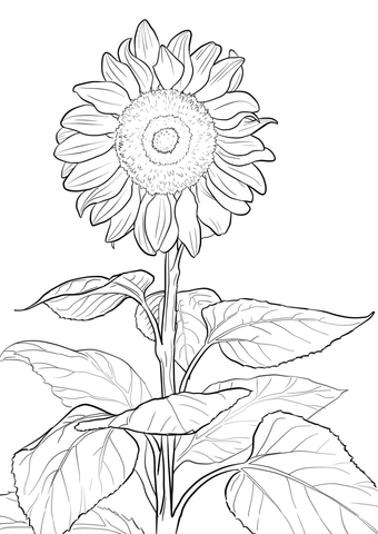 340x480 Sunflower Coloring Page Free Printable Coloring Pages