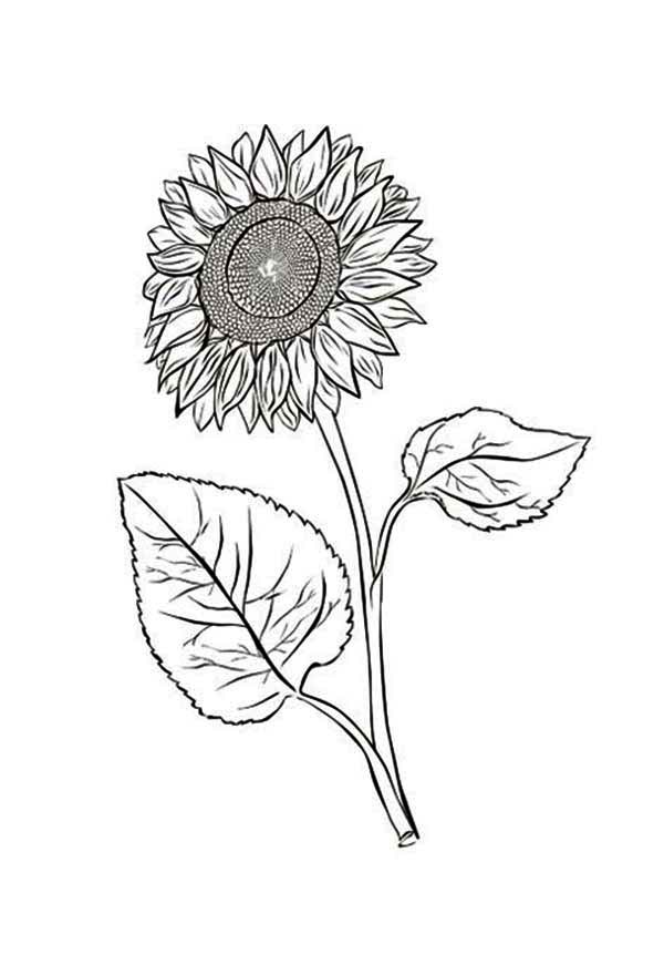 Sunflower Drawing Color at GetDrawings.com | Free for personal use ...